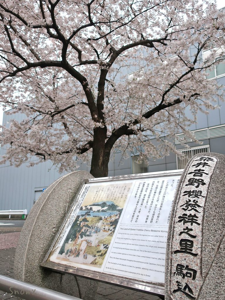 染井吉野桜記念公園の(豊島区)