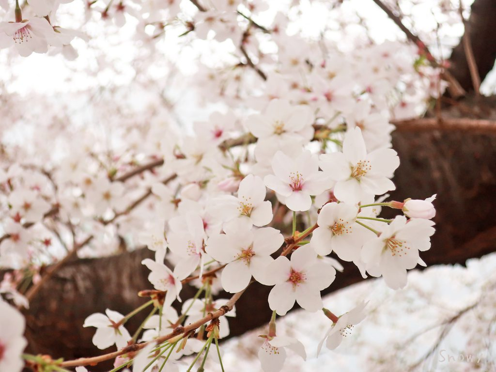 染井吉野桜記念公園の桜