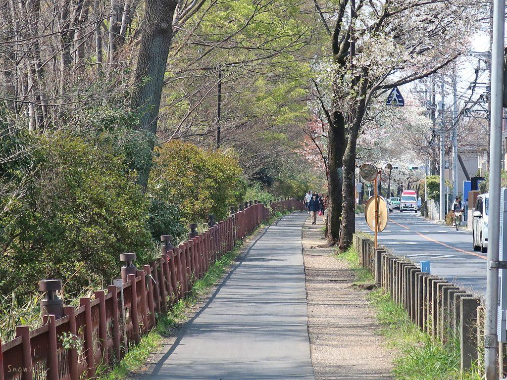 五日市街道と玉川上水沿いの桜