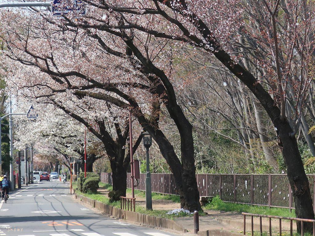 上水桜通りの桜